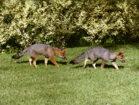 zorritos-cachorritos